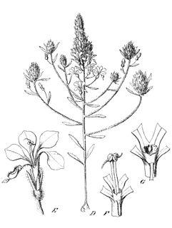 <i>Levenhookia preissii</i> species of plant