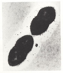 Pneumokoky pod mikroskopom