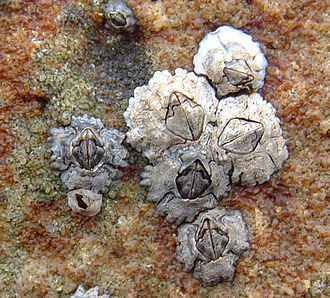 Austrominius modestus - Austrominius modestus and Semibalanus balanoides