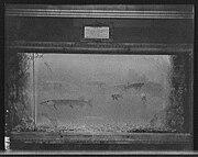 Pike in an aquarium c. 1908, at the Detroit Aquarium, Belle Isle Park.