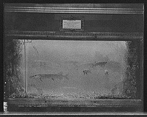 Aquarium - Pike in an aquarium circa 1908, at the Belle Isle Aquarium, Belle Isle Park