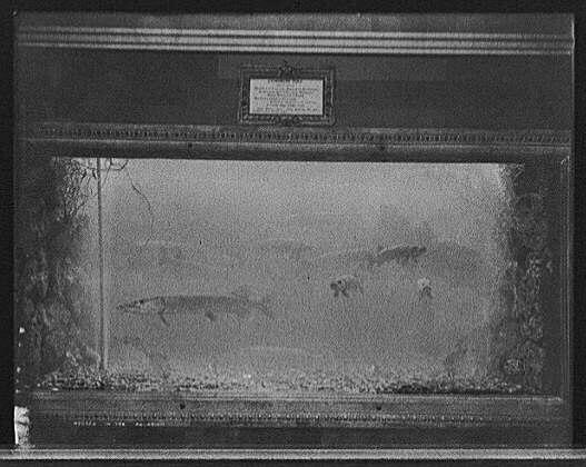 Pike aquarium c1908