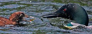 Nopiming Provincial Park - Mother Loon feeding baby at Booster Lake.