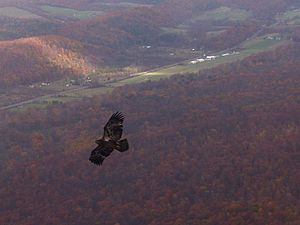 Ridge Soaring Gliderport - An immature bald eagle thermals over the Ridge Soaring Gliderport in a lake effect rain shower during the fall migration.