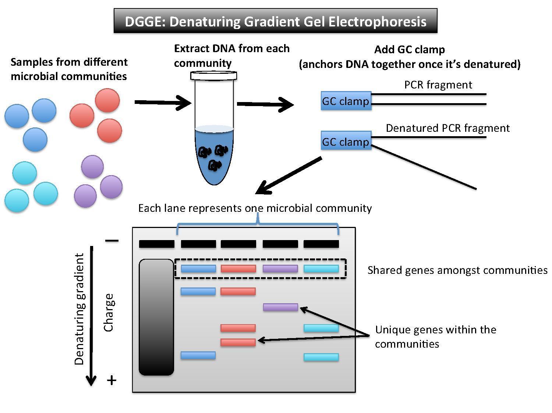 DNA Profiling Using Capillary Gel Electrophoresis