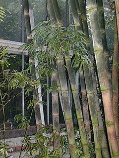 <i>Dendrocalamus</i> genus of plants