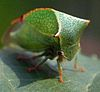 Stictocephala bisonia, commonly known as the Buffalo Treehopper