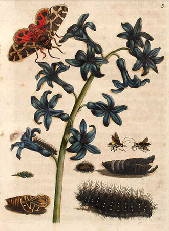 Plate 5 of Caterpillars vol 1, depicting the metamorphosis of the garden tiger moth, its plant host, and parasitic wasps. Garden Tiger Moth Maria Sibylla Merian.png