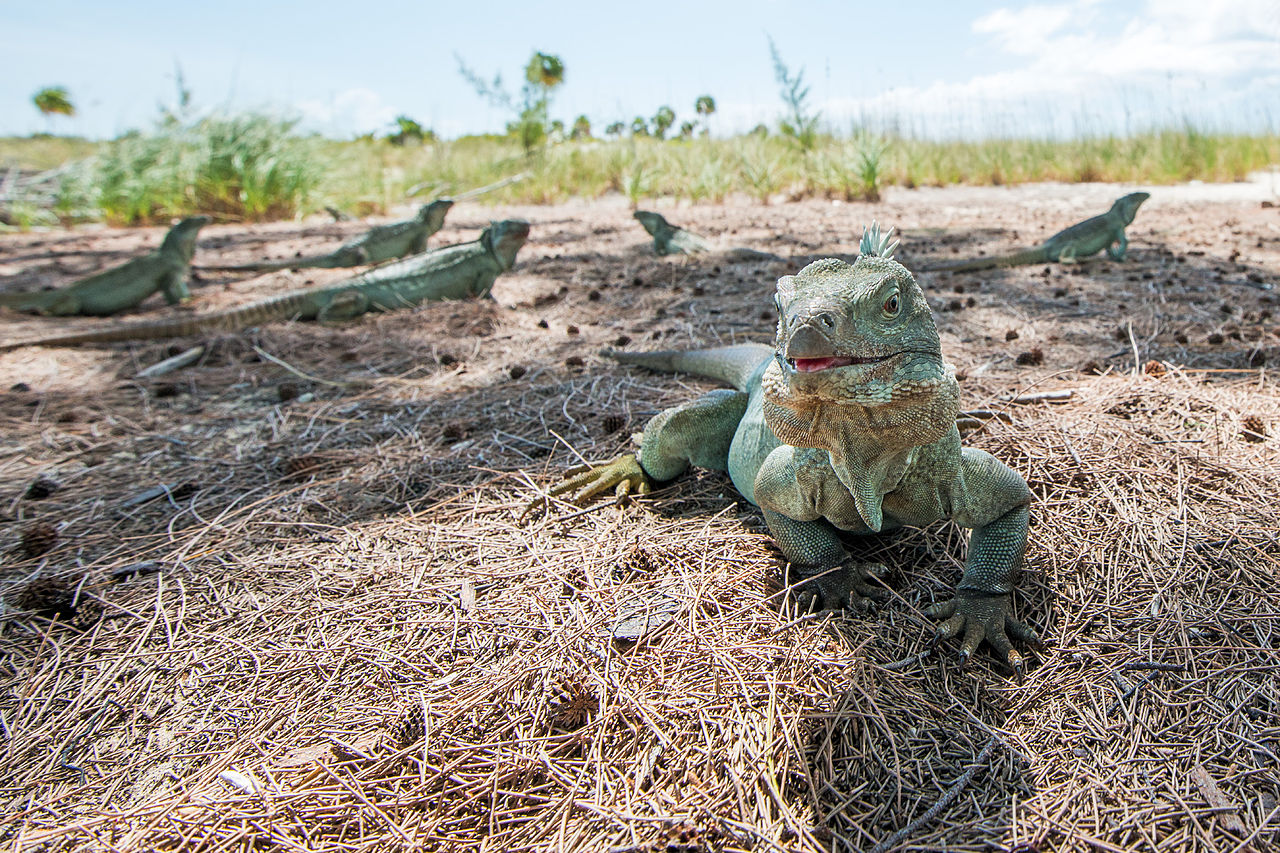 Iguanas on Little Water Cay, Turks and Caicos - Wikipedia