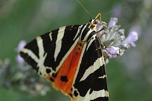 The First Eden - In episode 1, Attenborough travels to Rhodes to witness the gathering of 1 million Jersey tiger moths