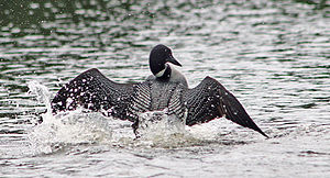 Minnesota Department of Natural Resources - Minnesota's state bird the common loon