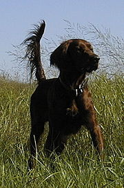 An AKC National Champion Pointing Bird