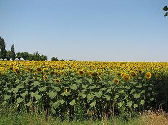 Gheorghe Doja, Ialomița - Image: Sunflower crop Gheorghe Doja