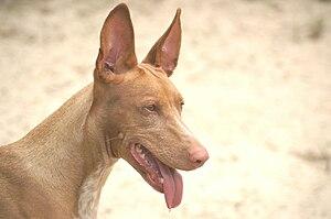Pharaoh Hound - Pharaoh Hound