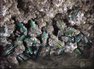 Perna viridis -  A group of Perna viridis attached on a rocky substrate