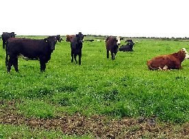 Cattle near Duncormick