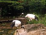 Cranes japan.jpg