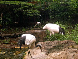 A pair of Red-crowned Cranes in the Tokyo Zoo.