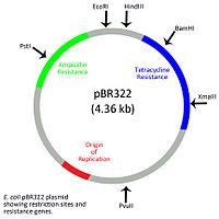 E Coli Diagram Plasmid Extrachromosomal DNA -...