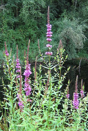 Purple loosestrife is an invasive plant deemed...