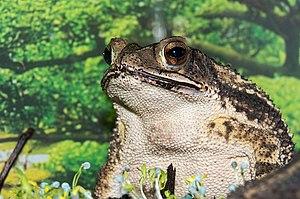 Gulf Coast toad - Image: Bufo valliceps (2016)