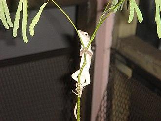 Enterolobium cyclocarpum - An anole lizard climbing a cultivated guanacaste seedling in southern Florida