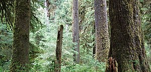Picea sitchensis - Sitka spruce forest in the Olympic Mountains, Washington