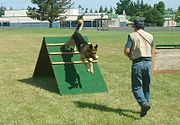 A German Shepherd being trained to retrieve over a small A-frame