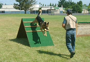 A German Shepherd Dog being trained to retriev...