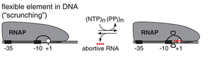 Abortive initiation - DNA scrunching mechanism. During initial transcription, RNA polymerase (RNAP) remains stationary on the promoter and unwinds and reels in downstream DNA.