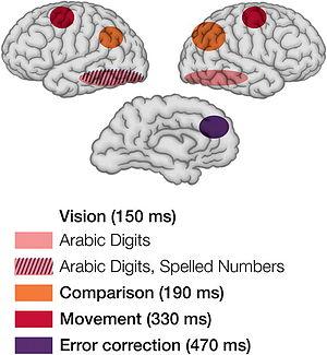 Mental chronometry - Image: EEG f MRI