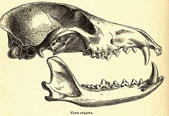 Maned wolf - Drawing of the skull of a maned wolf