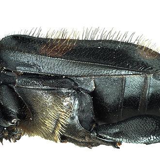 Nicrophorus orbicollis - Lateral view of N.orbicollis setae and elytra.