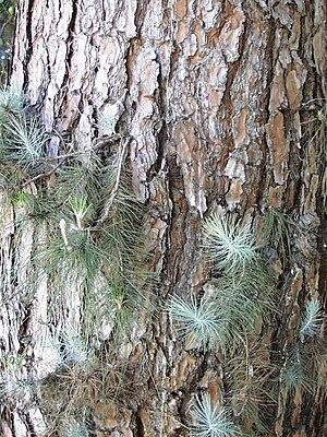 Pinus canariensis - Image: Pincan 01