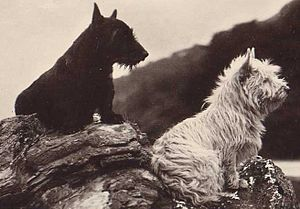 Terrier - Short-legged terriers: Scottish Terrier and West Highland White Terrier