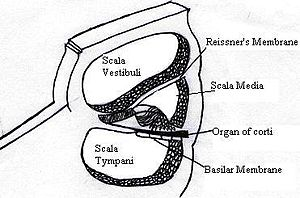 Critical band - Cross-section through the cochlea, showing the different compartments (as described above)