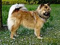 Eurasier web.jpg