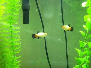 Platy (fish) - Variant of blue wagtail, in aquarium