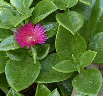 Aizoaceae - Aptenia cordifolia or rock rose