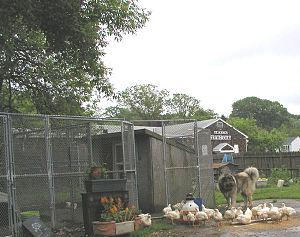 Caucasian Shepherd Dog - A Caucasian Shepherd Dog guarding poultry.