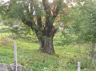 Dáinn, Dvalinn, Duneyrr and Duraþrór - European ash tree