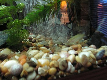 Gravel in a freshwater aquarium