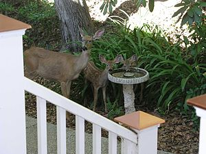 California mule deer - A doe and her fawns in Auburn, California