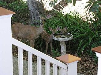 California mule deer - A doe and her fawns in Auburn, California