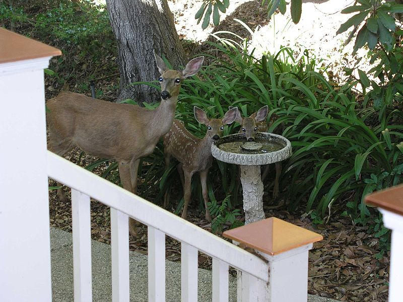 File:Doe and fawns July 2006.jpg