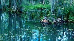 Cypress Lake (Lafayette, Louisiana) - Alligator and turtles in Cypress Lake.
