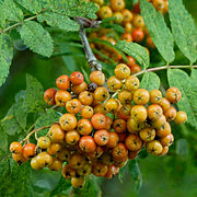 Ripening European Rowan berries.