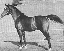 Black-and-white photo of Witez II taken in California some time after his purchase by Earl Hurlbutt.