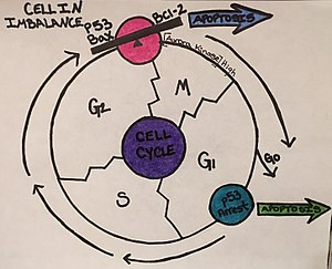 K562 cells - Cell Cycle Tailored to K562 Cell Growth and Regulation