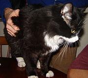 A male tuxedo cat.